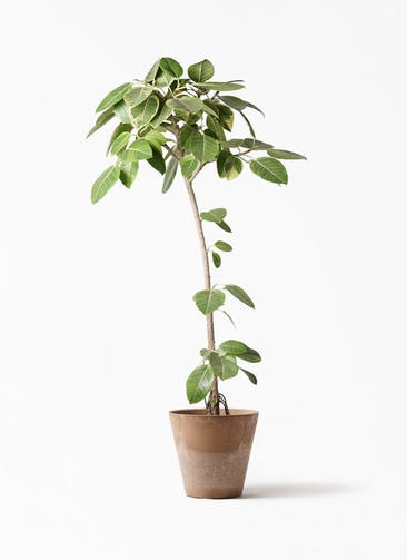 観葉植物 フィカス アルテシーマ 8号 ストレート アートストーン ラウンド ベージュ 付き