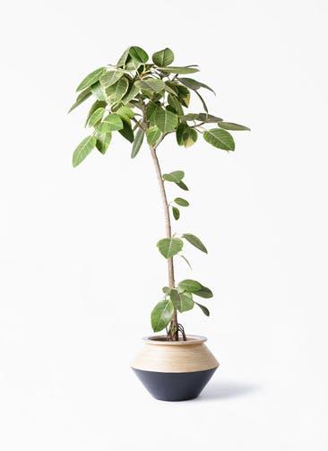 観葉植物 フィカス アルテシーマ 8号 ストレート アルマジャー 黒 付き