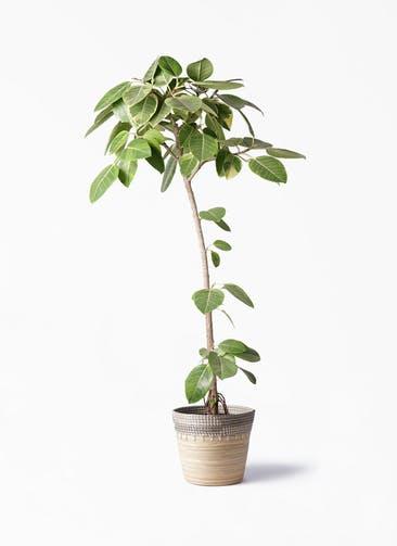 観葉植物 フィカス アルテシーマ 8号 ストレート アルマ コニック 白 付き