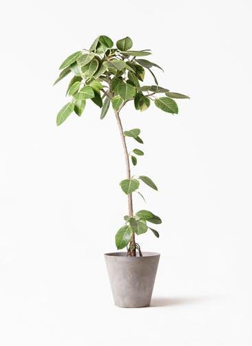 観葉植物 フィカス アルテシーマ 8号 ストレート アートストーン ラウンド グレー 付き