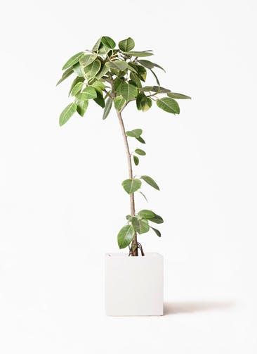 観葉植物 フィカス アルテシーマ 8号 ストレート バスク キューブ 付き