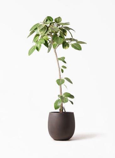 観葉植物 フィカス アルテシーマ 8号 ストレート テラニアス バルーン アンティークブラウン 付き