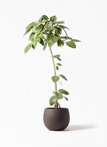 観葉植物 フィカス アルテシーマ 8号 ストレート テラニアス ローバルーン アンティークブラウン 付き
