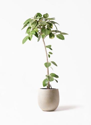 観葉植物 フィカス アルテシーマ 8号 ストレート テラニアス バルーン アンティークホワイト 付き