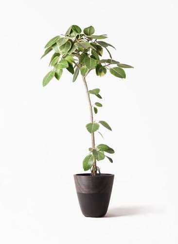 観葉植物 フィカス アルテシーマ 8号 ストレート ジュピター 黒 付き