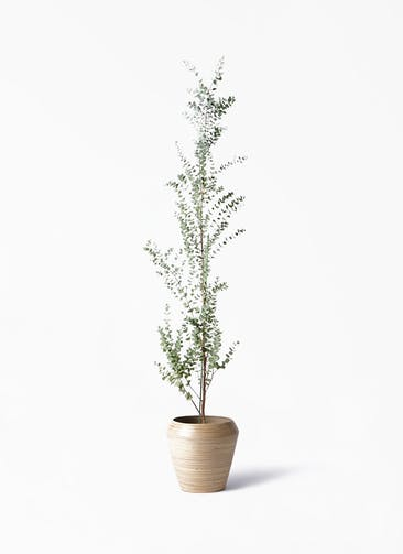 観葉植物 ユーカリ 8号 グニー アルマ ミドル 付き