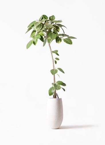 観葉植物 フィカス アルテシーマ 8号 ストレート フォンティーヌトール 白 付き