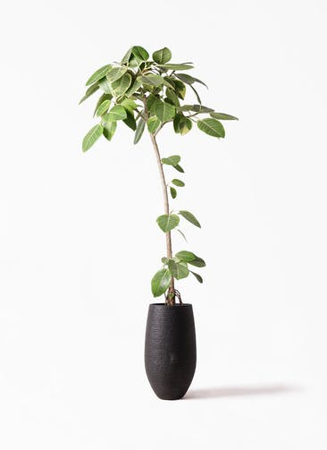 観葉植物 フィカス アルテシーマ 8号 ストレート フォンティーヌトール 黒 付き