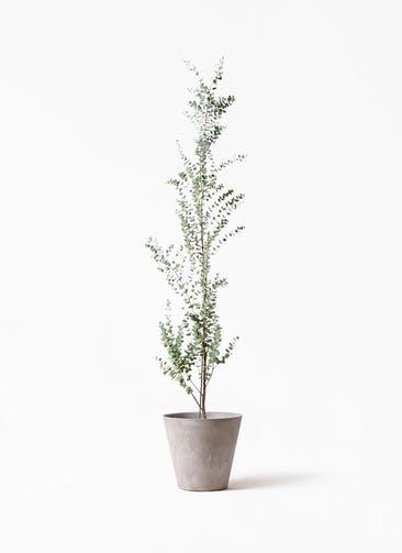 観葉植物 ユーカリ 8号 グニー アートストーン ラウンド グレー 付き