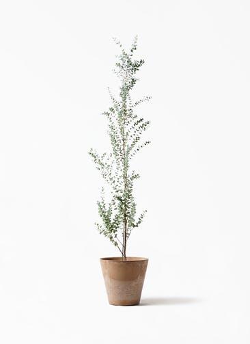 観葉植物 ユーカリ 8号 グニー アートストーン ラウンド ベージュ 付き