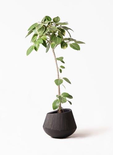 観葉植物 フィカス アルテシーマ 8号 ストレート エディラウンド 黒 付き