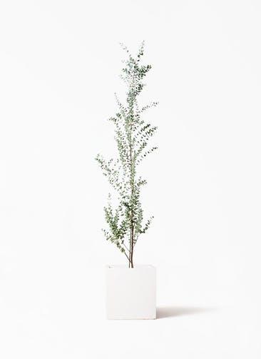 観葉植物 ユーカリ 8号 グニー バスク キューブ 付き