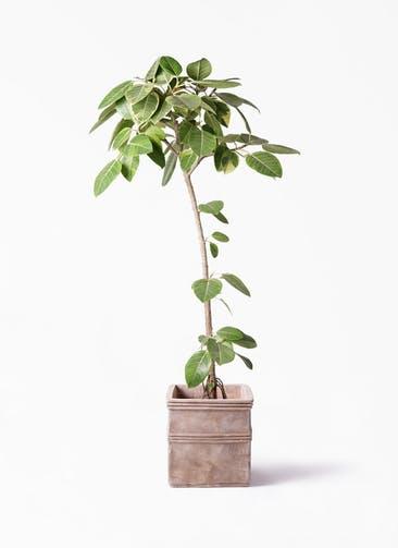観葉植物 フィカス アルテシーマ 8号 ストレート テラアストラ カペラキュビ 赤茶色 付き
