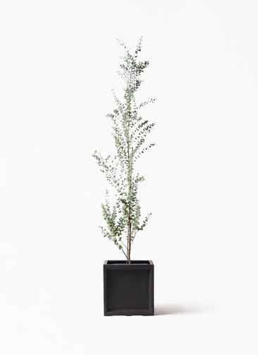観葉植物 ユーカリ 8号 グニー ブリティッシュキューブ 付き