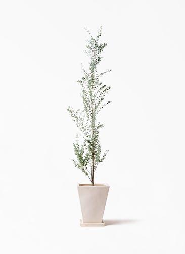 観葉植物 ユーカリ 8号 グニー スクエアハット 白 付き