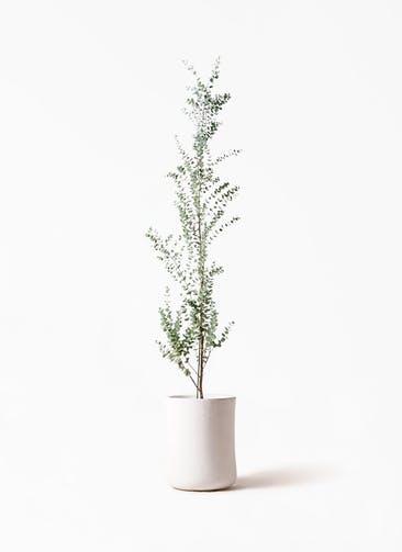 観葉植物 ユーカリ 8号 グニー バスク ミドル ホワイト 付き