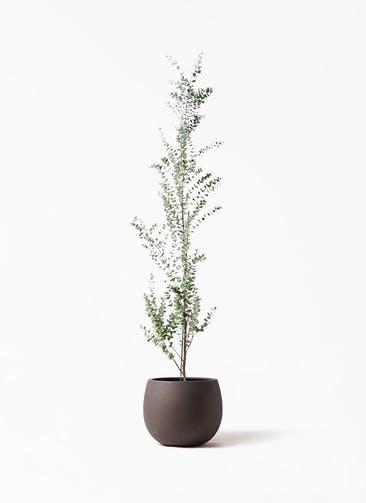 観葉植物 ユーカリ 8号 グニー テラニアス ローバルーン アンティークブラウン 付き