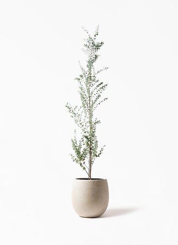 観葉植物 ユーカリ 8号 グニー テラニアス バルーン アンティークホワイト 付き