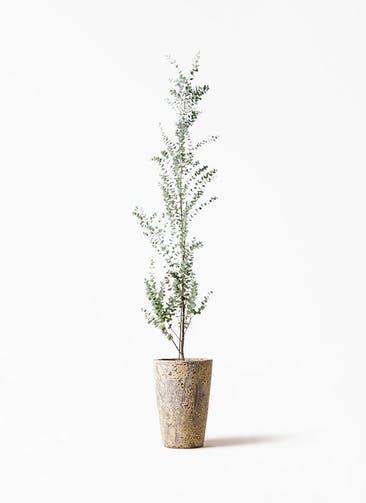 観葉植物 ユーカリ 8号 グニー アトランティス クルーシブル 付き