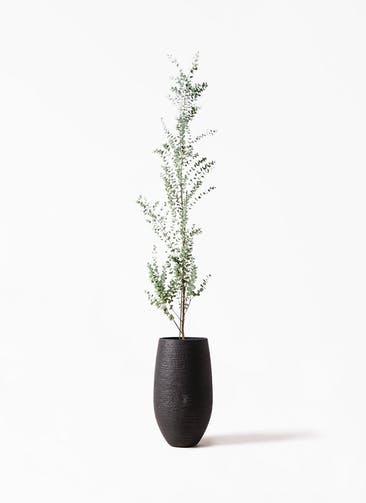 観葉植物 ユーカリ 8号 グニー フォンティーヌトール 黒 付き