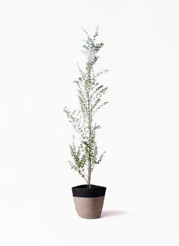 観葉植物 ユーカリ 8号 グニー リブバスケットNatural and Black 付き