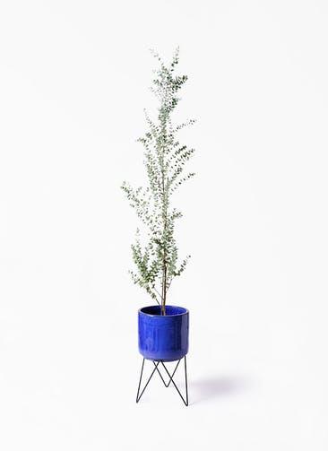 観葉植物 ユーカリ 8号 グニー ビトロ エンデカ ブルー アイアンポットスタンド ブラック 付き