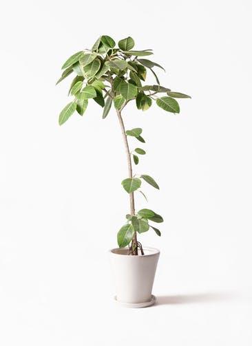 観葉植物 フィカス アルテシーマ 8号 ストレート サブリナ 白 付き