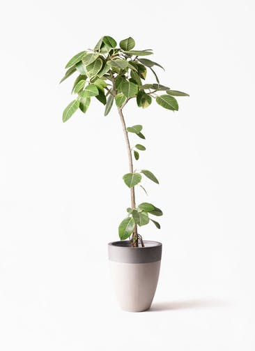 観葉植物 フィカス アルテシーマ 8号 ストレート ファイバーストーンカプリ サンディホワイト 付き
