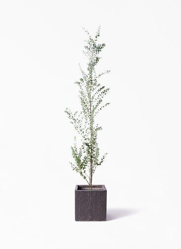 観葉植物 ユーカリ 8号 グニー ベータ キューブプランター ウッド 茶 付き