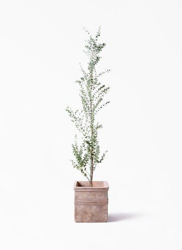 観葉植物 ユーカリ 8号 グニー テラアストラ カペラキュビ 赤茶色 付き
