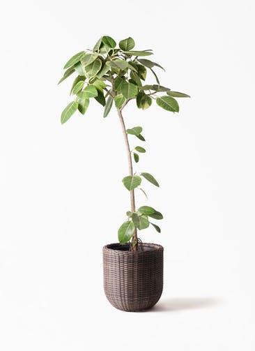 観葉植物 フィカス アルテシーマ 8号 ストレート ウィッカーポットエッグ 茶 付き