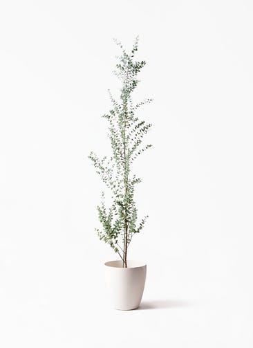 観葉植物 ユーカリ 8号 グニー ラスターポット 付き