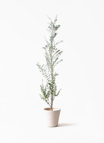 観葉植物 ユーカリ 8号 グニー ビアスソリッド 白 付き