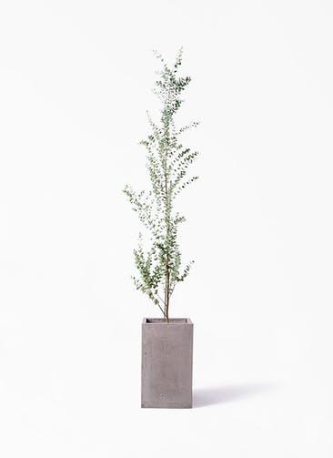 観葉植物 ユーカリ 8号 グニー セドナロング グレイ 付き