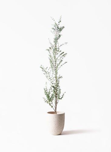 観葉植物 ユーカリ 8号 グニー ビアスアルトエッグ 白 付き
