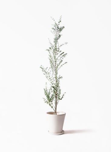 観葉植物 ユーカリ 8号 グニー サブリナ 白 付き