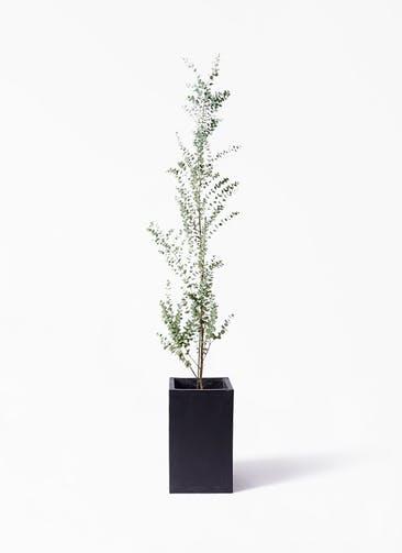 観葉植物 ユーカリ 8号 グニー セドナロング 墨 付き