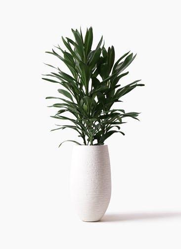 観葉植物 ドラセナ グローカル 8号 フォンティーヌトール 白 付き