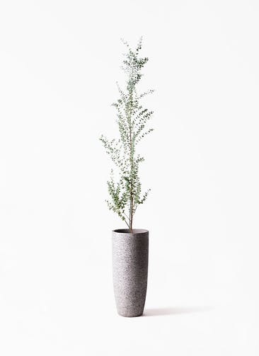 観葉植物 ユーカリ 8号 グニー エコストーントールタイプ Gray 付き