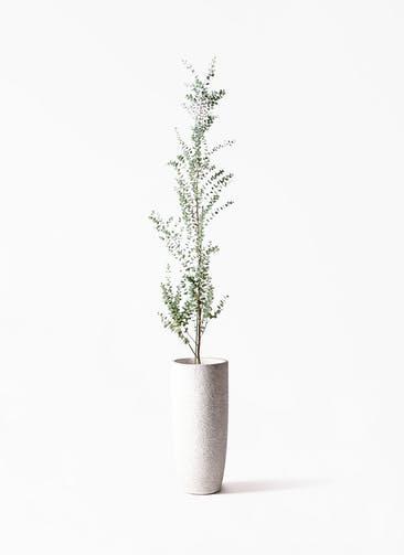 観葉植物 ユーカリ 8号 グニー エコストーントールタイプ white 付き