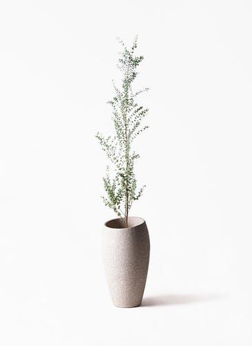 観葉植物 ユーカリ 8号 グニー エコストーントールタイプ Light Gray 付き