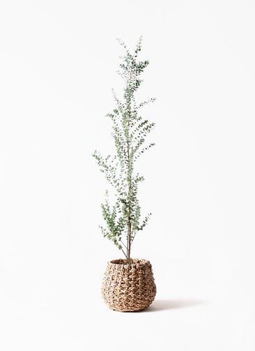 観葉植物 ユーカリ 8号 グニー ラッシュバスケット Natural 付き