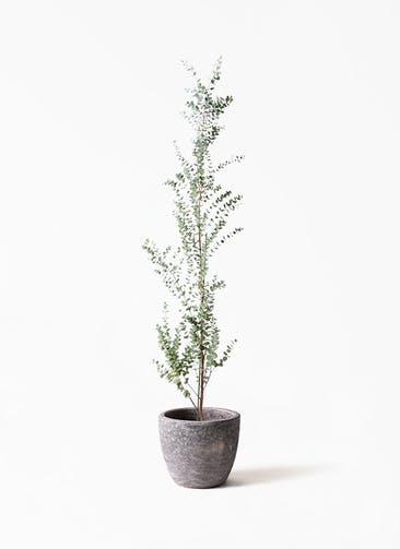 観葉植物 ユーカリ 8号 グニー アビスソニアミドル 灰 付き