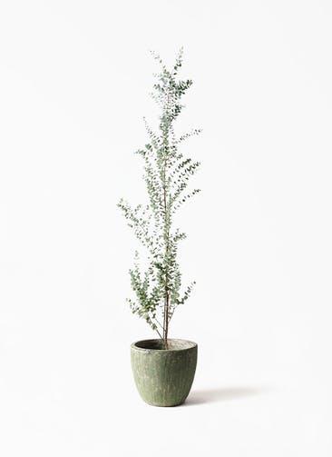 観葉植物 ユーカリ 8号 グニー アビスソニアミドル 緑 付き