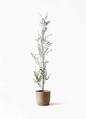 観葉植物 ユーカリ 8号 グニー リブバスケットNatural 付き