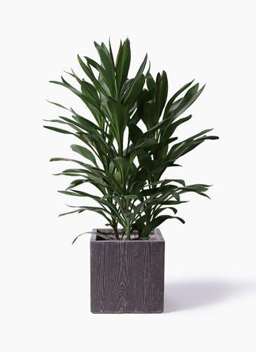 観葉植物 ドラセナ グローカル 8号 ベータ キューブプランター ウッド 茶 付き