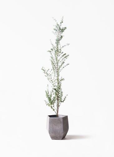 観葉植物 ユーカリ 8号 グニー ファイバークレイ Gray 付き