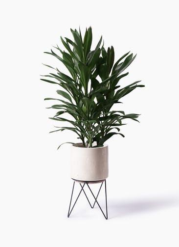 観葉植物 ドラセナ グローカル 8号 ビトロ エンデカ クリーム アイアンポットスタンド ブラック 付き