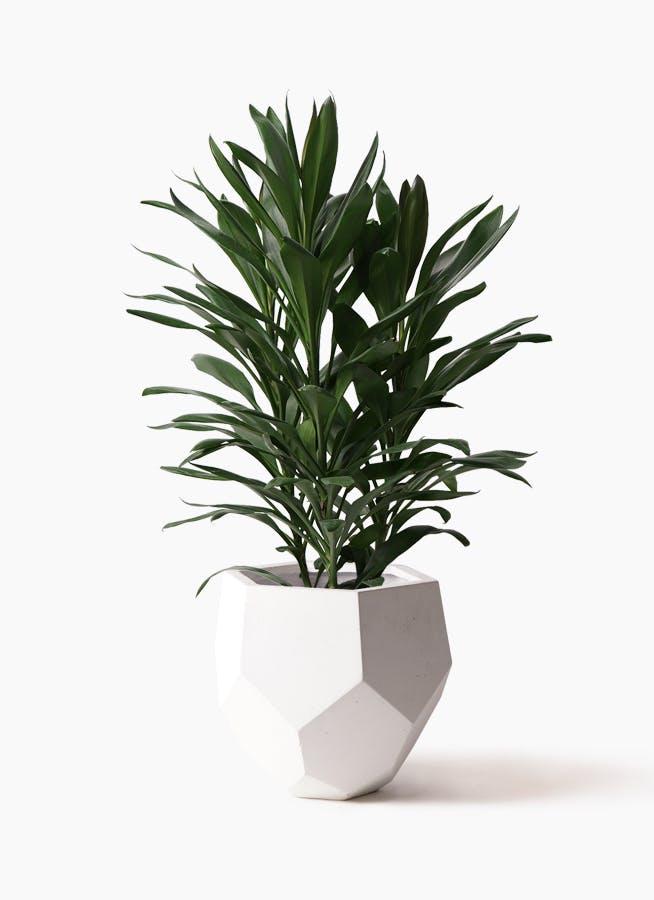 観葉植物 ドラセナ グローカル 8号 ポリゴヘクサ 白 付き