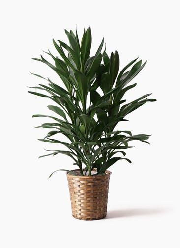 観葉植物 ドラセナ グローカル 8号 竹バスケット 付き